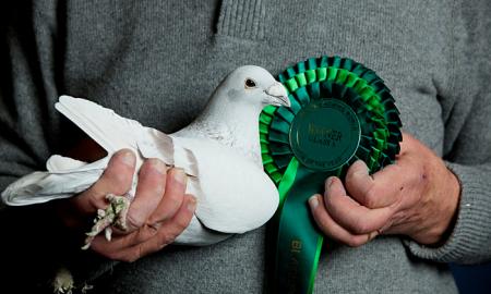Pigeon fanciers take on RSPB over killer hawks